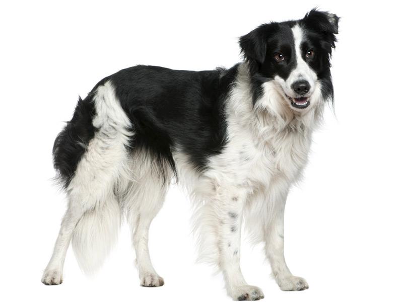 middel hond